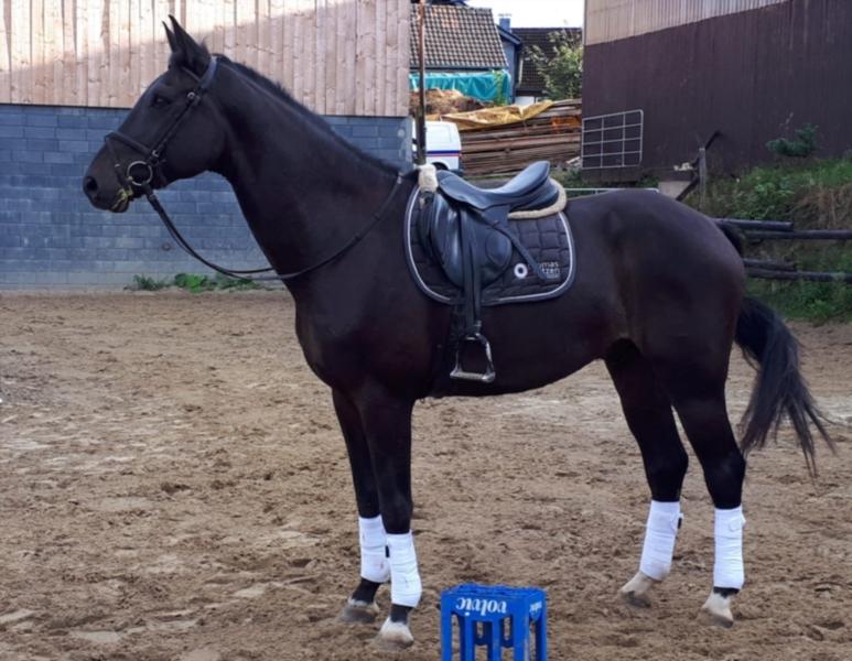 rheinlaender-wallach-8jahre-173-cm-schwarzbrauner-dressurpferd-lindlar-2161076_1.jpg