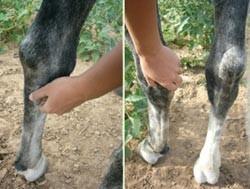 фото сустава ног лошадей